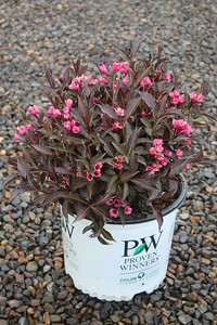 Weigela f  'Spilled Wine' #3 Flowering