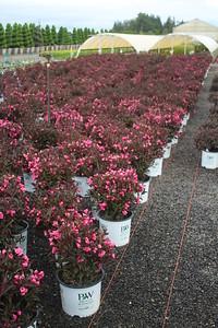 Weigela f  'Wine & Roses' Flowering Mass