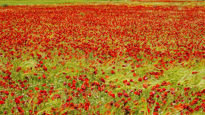 Poppy Season in Provence