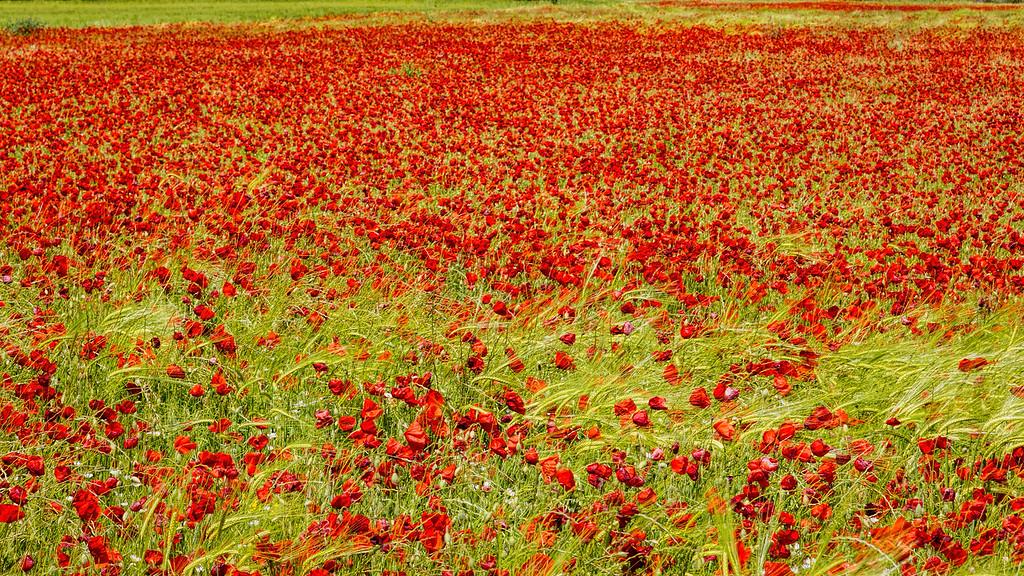 Poppy Season in Provence