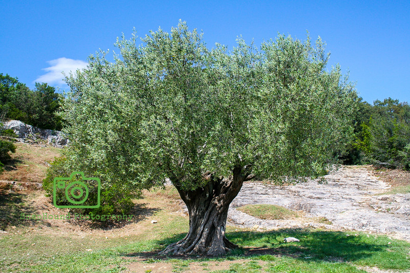 Ancient Olive Tree, Pont du Gard, France