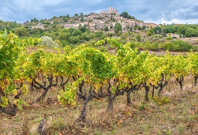 Old, gnarled grape vines in a vineyard below the historical village of Lacoste, perched on a hill in the Luberon region of Provence, France.