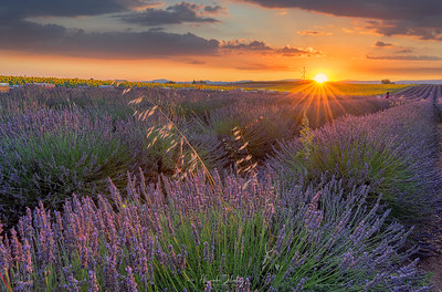 Lavender Field Sunset