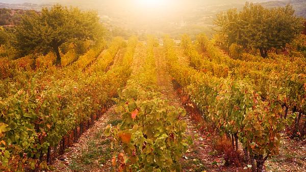 Autumn Vineyard 2