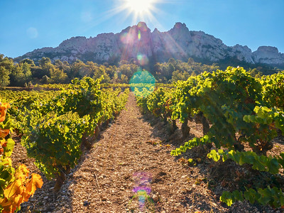 A French vineyard at the base of the spectacular Dentelles de Montmirail mountain range.
