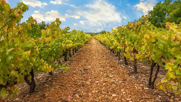 Rows of grape vines in a vineyard in Provence, France in early autumn, their leaves changing color.