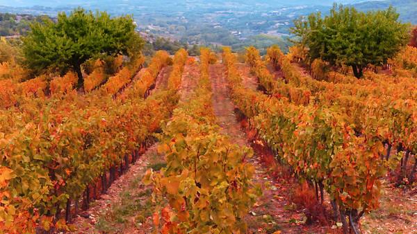 Autumn Vineyard #2