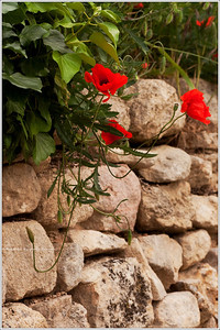 Poppies bloom on a rock wall.