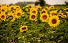 Provence Sunflower Field