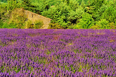 Field of lavender in front of an old mill