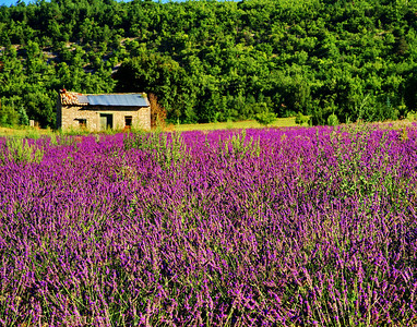 Lavender field and stone house near Sault