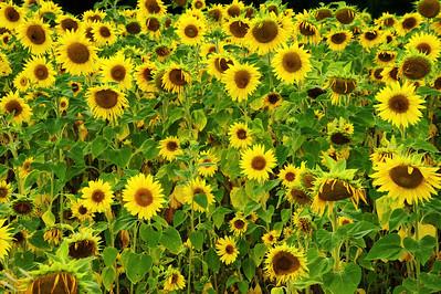 Sunflower field near Sault