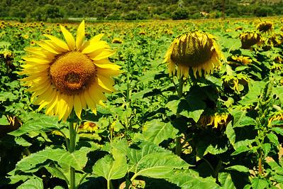 Sunflower garden outside Tourtour
