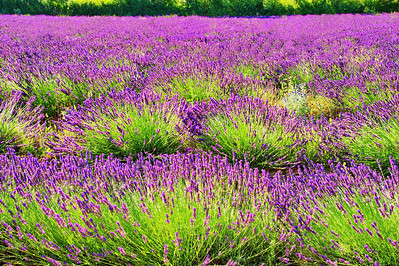 Lavender field below Sault