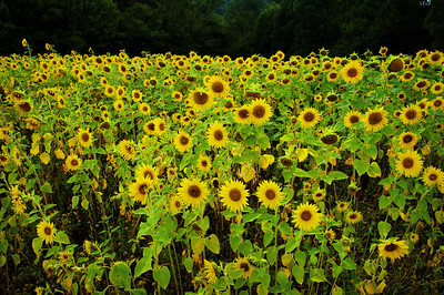 Sunflower field near Sault