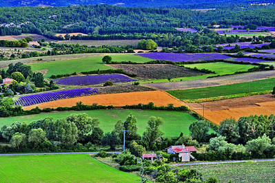 Lavender fields around Sault