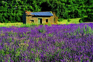 Lavender field and stone storage shed below Sault
