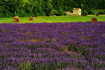 Lavender and round hay bales near farm buildings