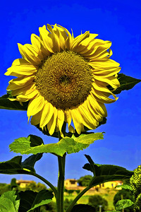 Giant sunflower in Tourtour