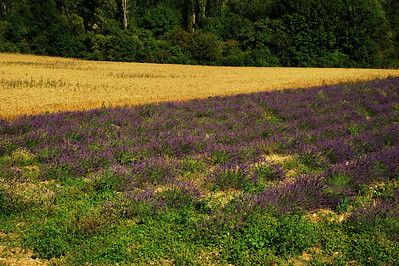 Saint_Saturnin_les_Apt_Lavender&wheat_LAN1574