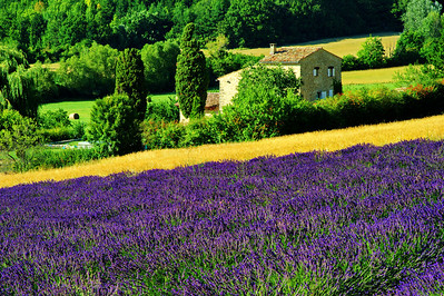 Farms are literally surrounded by lavender.