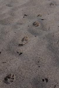 Coyote tracks.