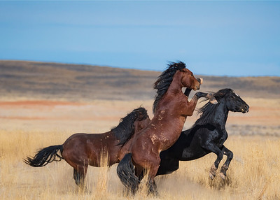 fighting mustangs