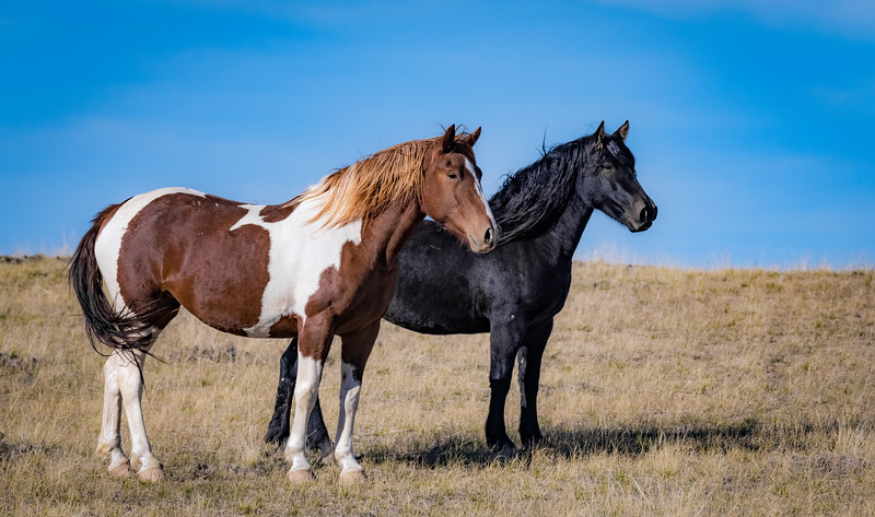 Wild horses on the McCullough Peaks Wild Horse Range near Cody, Wyoming.