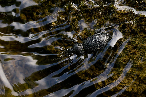 Pływający biegacz skórzasty (Carabus coriaceus) przytrzymujący się kamienia 24.08.2015, Sękowiec, rzeka Głęboka, Bieszczady ©Mateusz Matysiak