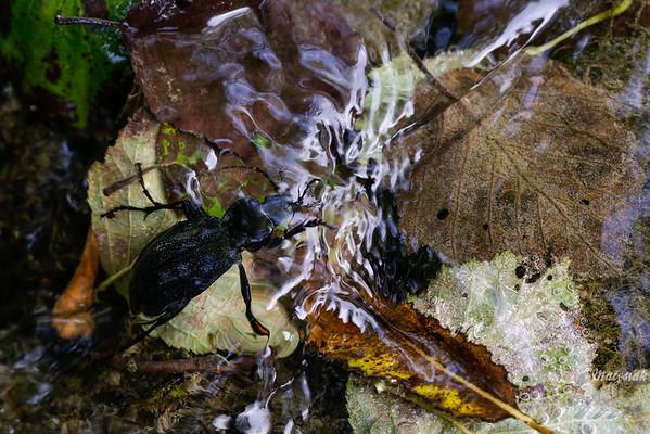 Nurkujący biegacz skórzasty (Carabus coriaceus) 24.08.2015, Sękowiec, rzeka Głęboka, Bieszczady ©Mateusz Matysiak