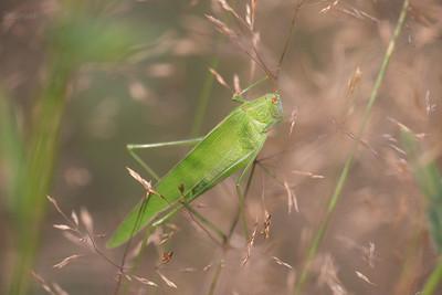Długoskrzydlak sierposz (Phaneroptera falcata) 03.08.2014; Wręcza (gm. Mszczonów) ©Agata i Mateusz Matysiak/ Ziemia Chełmońskiego Fotograficznie