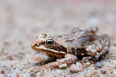 żaba trawna | common frog | rana temporaria