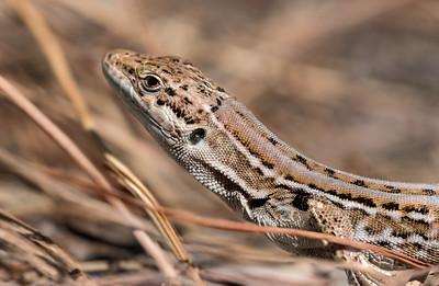 podarcis sicula | italian wall lizard