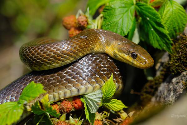 Wąż Eskulapa (Zamenis longissimus) podtrzymujący się na pędach owocujących jeżyn Bieszczady ©Mateusz Matysiak