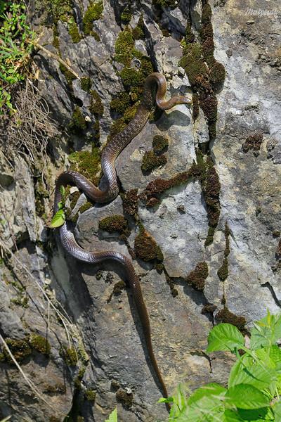 Wąż Eskulapa (Zamenis longissimus) wygrzewający się na skałach Bieszczady ©Mateusz Matysiak