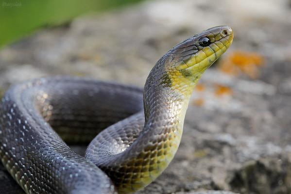 Wąż Eskulapa (Zamenis longissimus) w pozycji obronnej Bieszczady ©Mateusz Matysiak