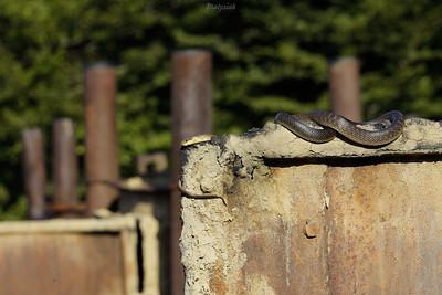 Wąż Eskulapa (Zamenis longissimus) wygrzewający się na wrotach retortowych Bieszczady ©Mateusz Matysiak