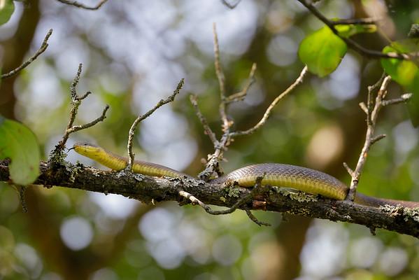 Wąż Eskulapa (Zamenis longissimus) wspinający się w koronie drzewa Bieszczady ©Mateusz Matysiak