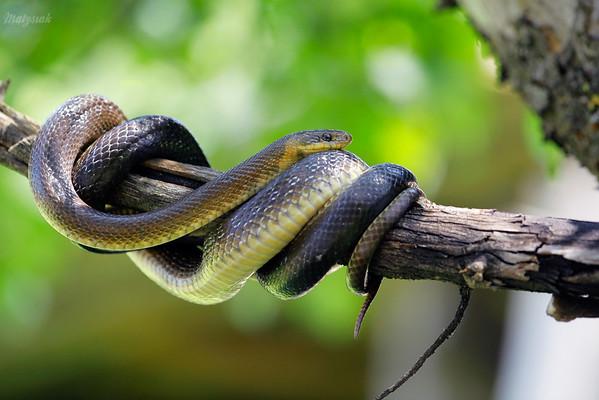 Wąż Eskulapa (Zamenis longissimus) czatujący na bojkowskiej jabłoni Bieszczady ©Mateusz Matysiak