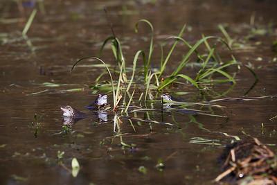 Żaba moczarowa (Rana arvalis) ©Agata Katafiasz-Matysiak
