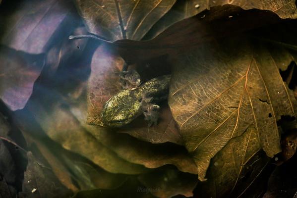 Larwa salamandry plamistej (Salamandra salamandra) żyjąca pod wodą okresowego zastoiska, ukrywa się na dnie, wśród zatopionych liści Bieszczady ©Mateusz Matysiak