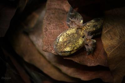 Skrzelodyszna salamandra