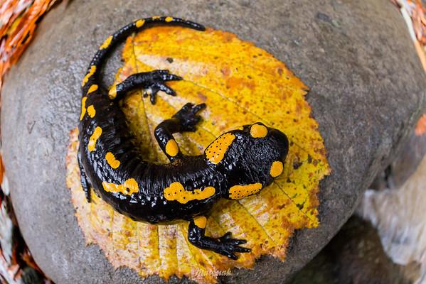 Salamandra plamista (Salamandra salamandra) Bieszczady ©Mateusz Matysiak