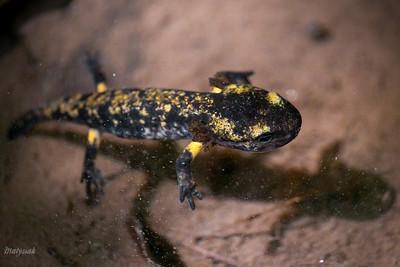 Larwa salamandry plamistej (Salamandra salamandra) żyjąca pod wodą okresowego zastoiska  Bieszczady ©Mateusz Matysiak