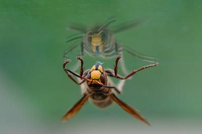 szerszeń europejski   european hornet   vespa crabro