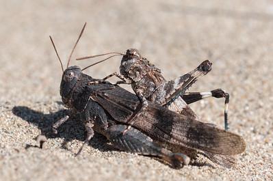 siwoszek błękitny | oedipoda caerulescens | blue-winged grasshopper
