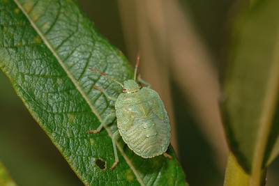 odorek zieleniak (larwa)   green shield bug   plomena prasina