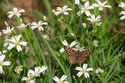 osadnik egeria | speckled wood | pararge aegeria