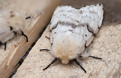 brudnica nieparka | european gypsy moth | lymantria dispar