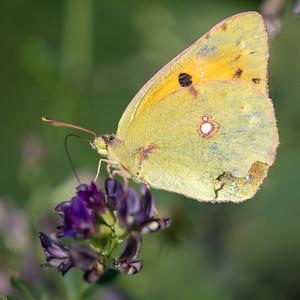 szlaczkoń sylwetnik | colias crocea | clouded yellow